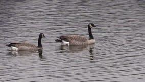 加拿大鹅游泳 股票视频