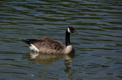 加拿大鹅游泳 免版税图库摄影