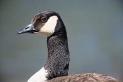 加拿大鹅潜力的特写镜头详细的画象一只高声谈笑的鹅,而是我不肯定有-被采取的深蓝背景 库存图片