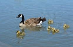 加拿大鹅父母游泳用幼鹅 库存图片