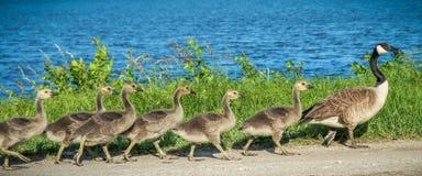 加拿大鹅用幼鹅 免版税库存图片