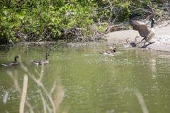 加拿大鹅用幼鹅 库存图片