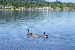 加拿大鹅用婴孩鸭子 免版税库存照片