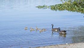 加拿大鹅用婴孩鸭子 免版税库存图片