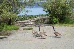 加拿大鹅用婴孩鸭子 图库摄影