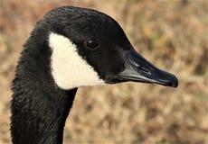 加拿大鹅画象 免版税库存图片
