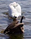 加拿大鹅的美丽的被隔绝的照片受到一只恼怒的疣鼻天鹅的攻击在湖 免版税库存照片