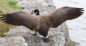 加拿大鹅的跃迁对岩石岸的 库存照片