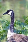 加拿大鹅的画象 免版税图库摄影