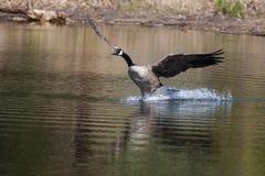 加拿大鹅着陆水 免版税库存照片