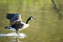 加拿大鹅着陆 图库摄影