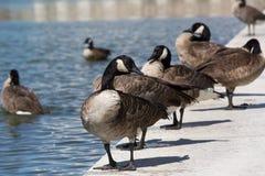 加拿大鹅站立 图库摄影