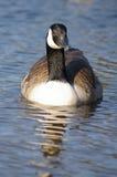 加拿大鹅纵向 免版税库存照片
