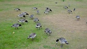 加拿大鹅群在一个夏日啄绿草和地面在领域 影视素材