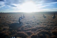 加拿大鹅群在领域的在日落 库存图片