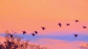 加拿大鹅群飞行在形成的通过橙色日落天空 库存图片
