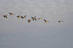 加拿大鹅群飞行在早晨天空的 库存照片
