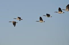 加拿大鹅群飞行在蓝天的 库存照片