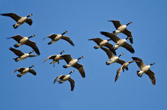 加拿大鹅群飞行在蓝天的 免版税库存照片