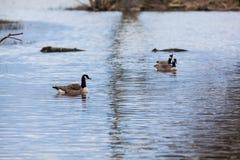 加拿大鹅群 免版税图库摄影