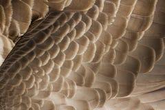 加拿大鹅羽毛 库存图片