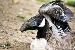 加拿大鹅舒展 免版税库存照片