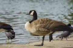 加拿大鹅行程一身分 免版税库存图片