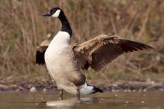 加拿大鹅被加宽的翼 库存图片