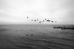 加拿大鹅迁移 库存照片