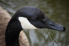 加拿大鹅面孔 免版税库存照片