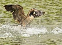 加拿大鹅飞溅 免版税图库摄影
