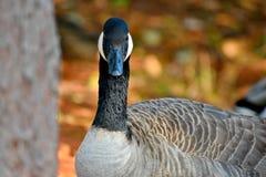 加拿大鹅,看您,NW奥克拉荷马市 免版税库存图片