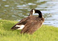 加拿大鹅,霍尔公园, Frisco,得克萨斯 库存照片