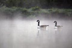 加拿大鹅,黑雁canadensis 库存照片