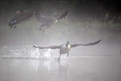 加拿大鹅,黑雁canadensis 图库摄影