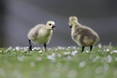 加拿大鹅,黑雁canadensis 免版税库存图片