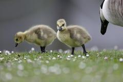 加拿大鹅,黑雁canadensis 库存图片