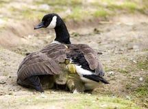 加拿大鹅&幼鹅 免版税库存照片