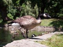 加拿大鹅离开池塘 免版税库存图片