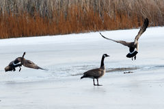 加拿大鹅离开 免版税图库摄影