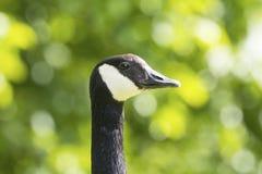 加拿大鹅画象 免版税图库摄影