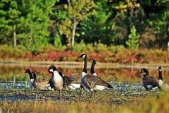 加拿大鹅-黑雁canadensis 免版税库存照片