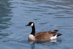 加拿大鹅 库存图片