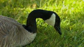 加拿大鹅 影视素材