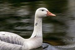 加拿大鹅 免版税库存图片
