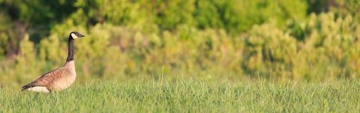 加拿大鹅 库存照片