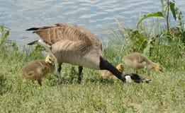 加拿大鹅wih婴孩幼鹅 免版税库存图片
