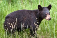 加拿大黑熊Cub熊属类 库存照片
