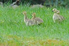 加拿大绿草的鹅婴孩 免版税库存照片