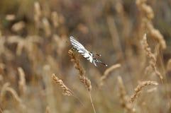 加拿大swallowtail老虎 库存图片